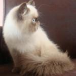 374109 Persa 150x150 Fotos de gatos de raça