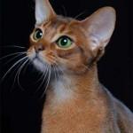 374109 abissinio raca de gatos 150x150 Fotos de gatos de raça