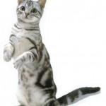 374109 american short hair 150x150 Fotos de gatos de raça