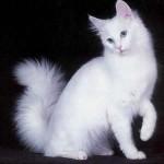 374109 angora branco 150x150 Fotos de gatos de raça