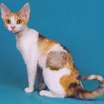 374109 devon rex 150x150 Fotos de gatos de raça