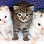 374109 filhote de gatos 150x150 Fotos de gatos de raça
