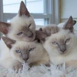 374109 filhotes de gato balines 150x150 Fotos de gatos de raça