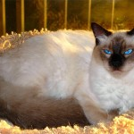 374109 foto gato balines 150x150 Fotos de gatos de raça