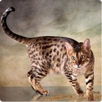374109 foto gato bengal 150x150 Fotos de gatos de raça