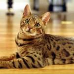 374109 gato Bengal 150x150 Fotos de gatos de raça