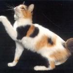 374109 gato bobtail 150x150 Fotos de gatos de raça