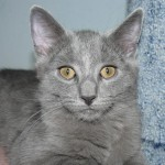 374109 gato chartreux 150x150 Fotos de gatos de raça