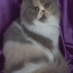 374109 gato de raça persa 150x150 Fotos de gatos de raça