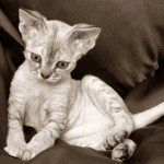 374109 gato devon rex 150x150 Fotos de gatos de raça