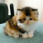 374109 gato exotico 150x150 Fotos de gatos de raça
