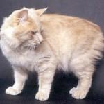 374109 gato manx 150x150 Fotos de gatos de raça