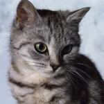 374109 gato pelo curto brasileiro 150x150 Fotos de gatos de raça
