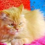 374109 gato persa amarelo 150x150 Fotos de gatos de raça