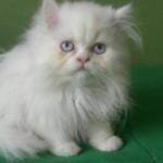 374109 gato persa branco 150x150 Fotos de gatos de raça