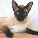 374109 gato siames 1 150x150 Fotos de gatos de raça