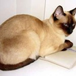 374109 gato siames 150x150 Fotos de gatos de raça