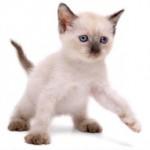 374109 gato siames 3 150x150 Fotos de gatos de raça