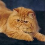 374109 gatos persas 150x150 Fotos de gatos de raça