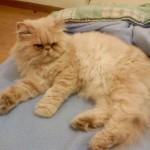 374109 persa amarelo 150x150 Fotos de gatos de raça