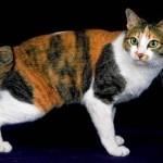 374109 raça de gato bobtail japones 150x150 Fotos de gatos de raça