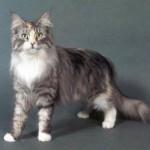 374109 raça maine coon 150x150 Fotos de gatos de raça