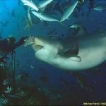 380688 5831 150x150 Tubarão touro: fotos