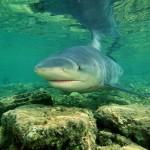 380688 Bull Shark tubarao+touro 150x150 Tubarão touro: fotos