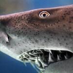 380688 Squalo 150x150 Tubarão touro: fotos