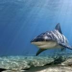 380688 bull shark 769 600x450 150x150 Tubarão touro: fotos