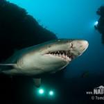 380688 carcharias taurus 6 3885 150x150 Tubarão touro: fotos