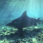 380688 ddd 150x150 Tubarão touro: fotos