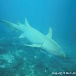 380688 roballen fiji 5712 150x150 Tubarão touro: fotos