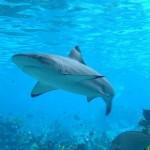 380688 tubarao 150x150 Tubarão touro: fotos