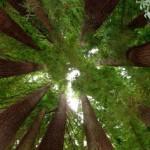 393720 Floresta Giant Redwoods 150x150 Florestas mais bonitas no mundo   fotos