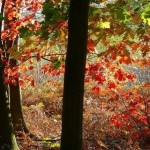 393720 Floresta de Sherwood 150x150 Florestas mais bonitas no mundo   fotos