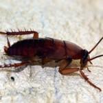 395104 baratas são atraidas por restos de comida 150x150 O mundo dos insetos: fotos