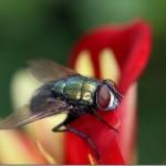 395104 mosca tb 150x150 O mundo dos insetos: fotos