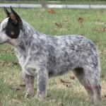 396039 Australian Cattle 150x150 Cães de raças raras: fotos