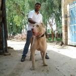 396039 BBully Kutta 150x150 Cães de raças raras: fotos