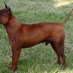 396039 Cão Chinês de Chongqing1 150x150 Cães de raças raras: fotos