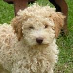 396039 Lagotto Romagnolo 150x150 Cães de raças raras: fotos