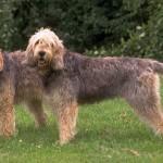 396039 Otterhound 150x150 Cães de raças raras: fotos