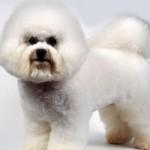 396832 Bichon Frisé 150x150 Raças de cachorros pequenos: fotos
