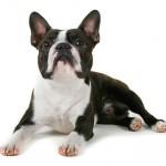 396832 Boston Terrier 150x150 Raças de cachorros pequenos: fotos