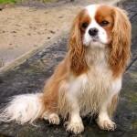 396832 Cavalier King Charles Spaniel 150x150 Raças de cachorros pequenos: fotos