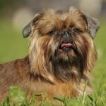 396832 Griffon de Bruxelas 150x150 Raças de cachorros pequenos: fotos