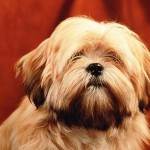 396832 Lhasa Apso 150x150 Raças de cachorros pequenos: fotos