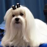 396832 Maltês 150x150 Raças de cachorros pequenos: fotos