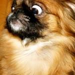 396832 Pequinês 150x150 Raças de cachorros pequenos: fotos